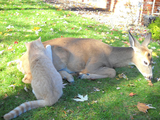 Cat and Deer - deer lying down, cat touching deer's hip