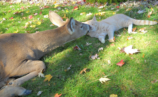 Cat and Deer - both lying down, nose to nose